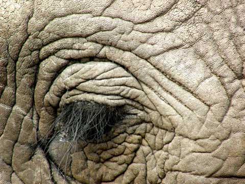 Elefant Botswana