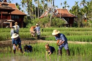 Kinder beim Reispflanzen