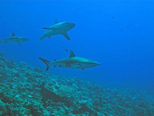 Haischutzgebiet Palau