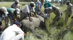 Umzug Nashörner Serengeti