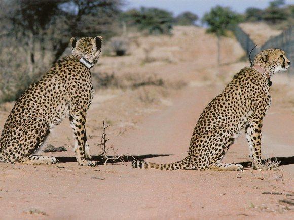 Geparden Okonjima