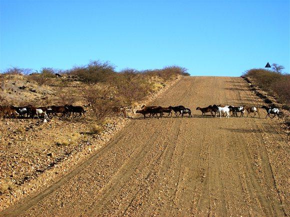 Tierherde kreuzt Fahrbahn Namibia