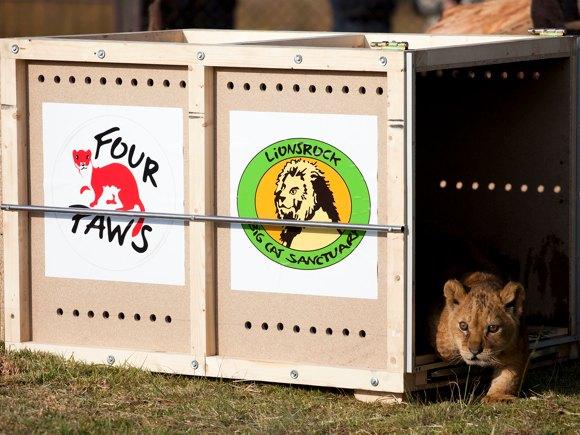 Ankunft der Löwen