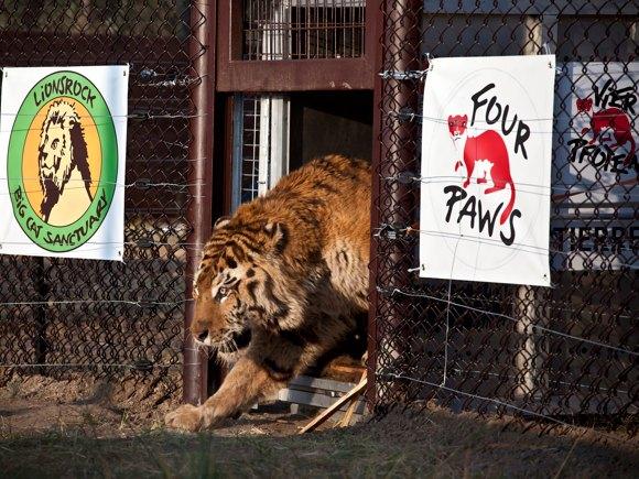 Tiger im neuen Refugium