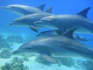 Delfine Ägypten
