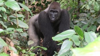 Gorilla Odzala