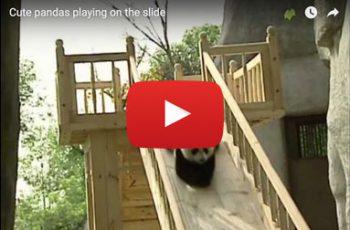 Video Pandabären