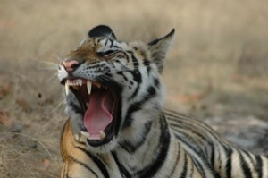 Tiger Pench Nationalpark