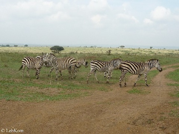 Zebras ©As Friends to Kenya