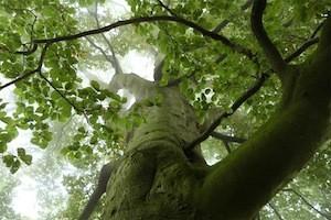 """Die """"Alten Buchenwälder"""" auf Rügen sind eine imposante Erscheinung. ©djd/Nationalpark-Zentrum KÖNIGSSTUHL"""