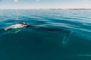 Buckelwale ziehen auf ihrer Wanderung an der westaustralischen Coral Coast entlang.