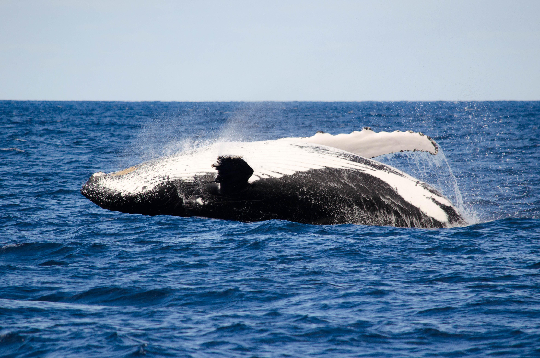 Buckelwale zeigen oft spektakuläre Srpünge.