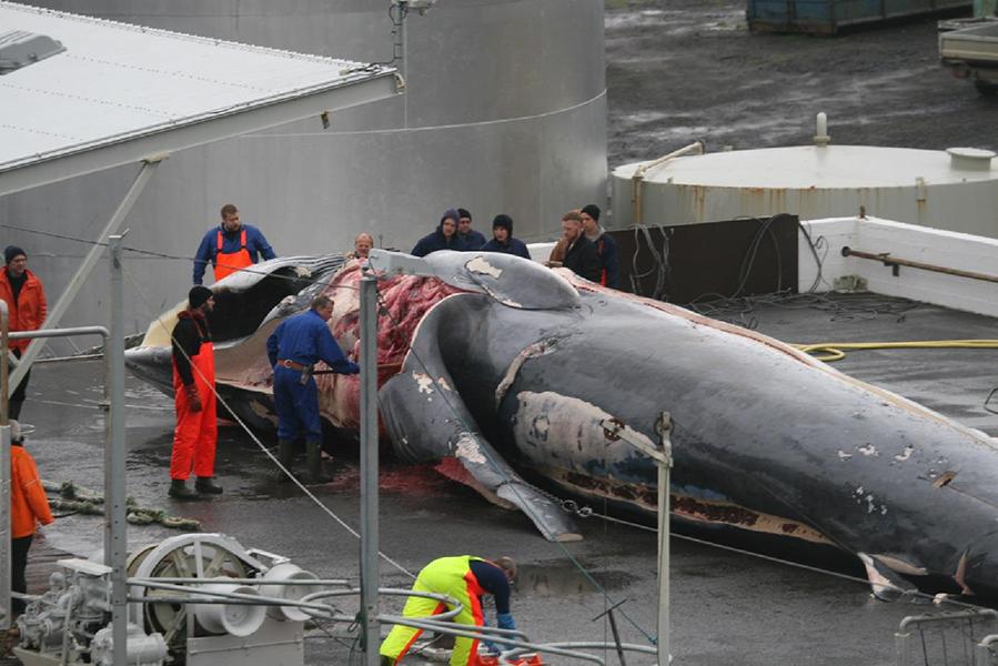 Anlandung eines getöteten Finnwals in Island