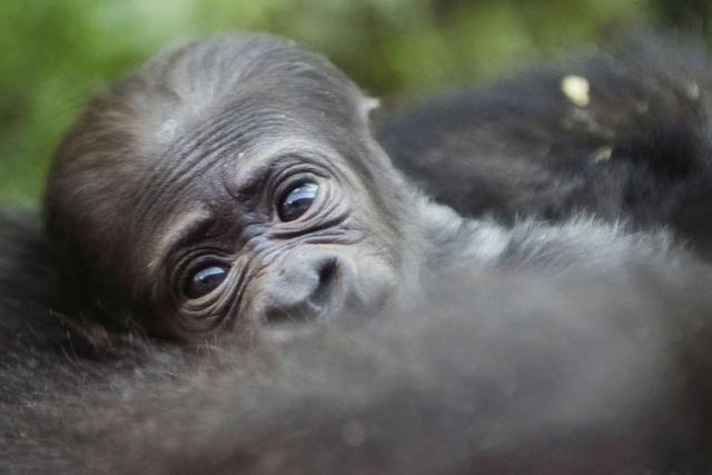 Baby-Gorilla, © Uganda Tourism Board