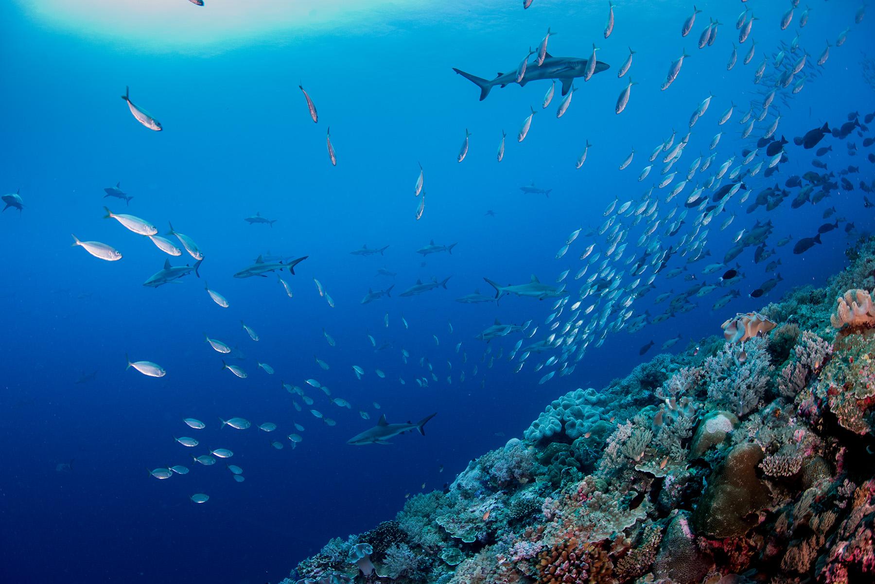 Graue Riffhaie, Palau - © Jesse Alpert