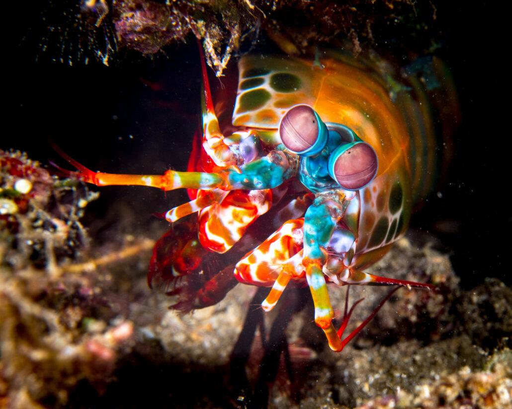 Fangschreckenkrebs Bunaken Oasis Dive Resort & Spa